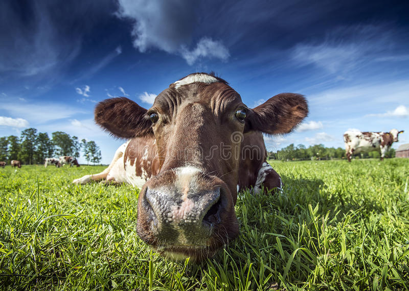 Download Cow stock photo. Image of farming, dairy, domestic, cattle - 56718428