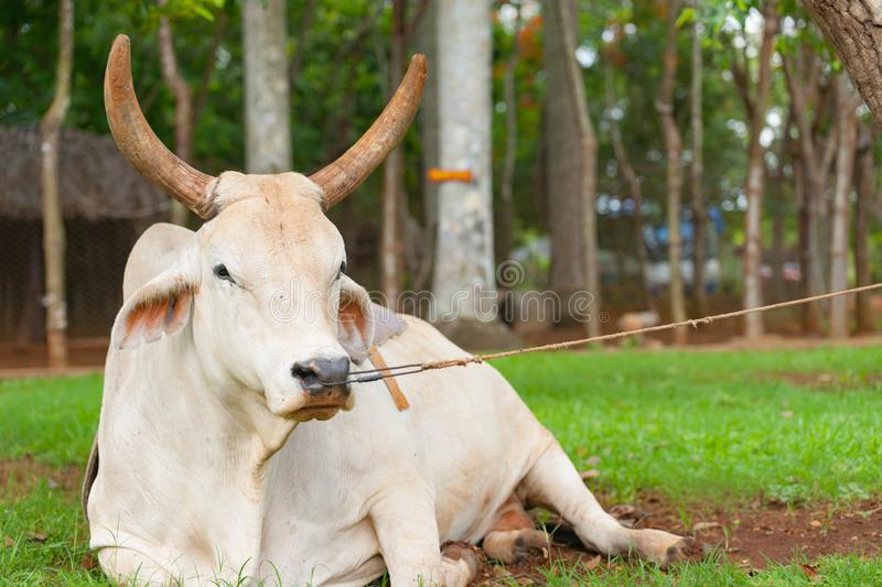 259 Cow Nose Ring Photos Free Royalty Free Stock Photos From Dreamstime