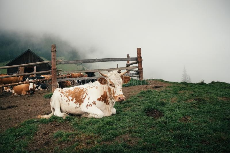 Life of domestic cattle in Carpathian mountain in Ukraine. A cow resting over the fence on a grass near the barn and other cattle on a foggy day in Summer stock photos