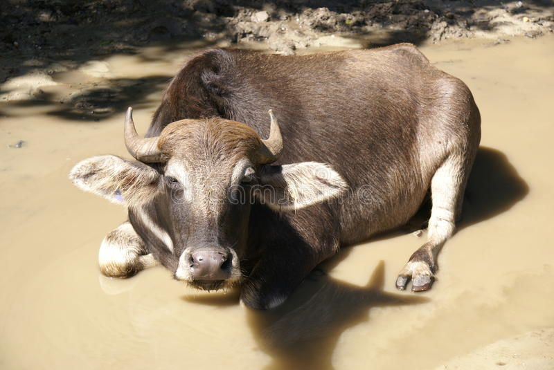 Cow rests in muddy puddle stock photography