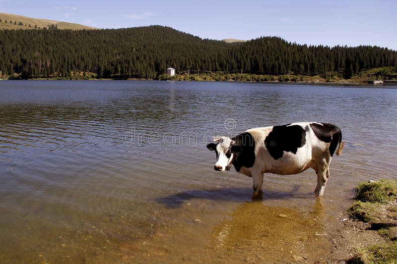 Cow in the river royalty free stock photography