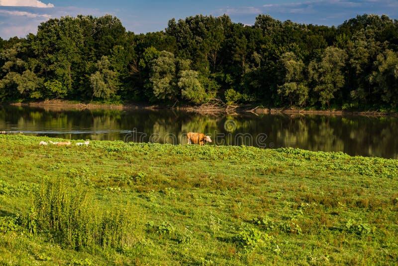 Cow on the riverbank of Sava river in Croatia near Bosnian Border.  royalty free stock photos