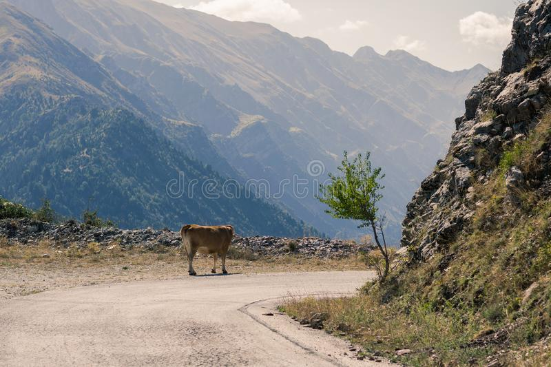 Cow on the road in the mountain at sunset in the Greece. stock image