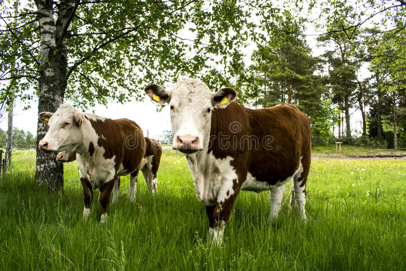 Cow& x27; s foto de archivo libre de regalías