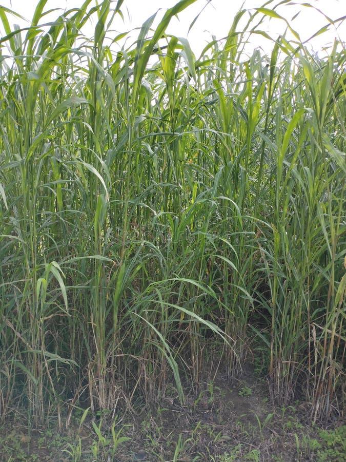 Cow& x27; s die groen gras in landbouwbedrijf eten royalty-vrije stock afbeeldingen
