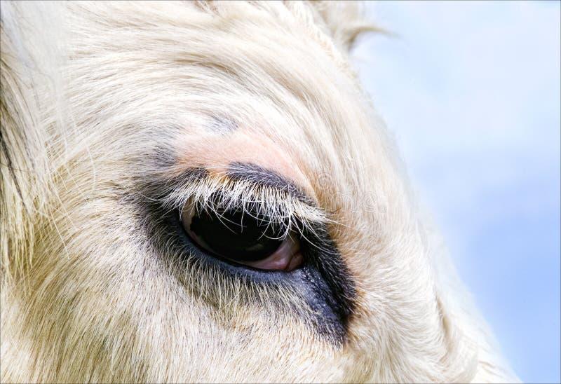 Cow S Eye Stock Photos