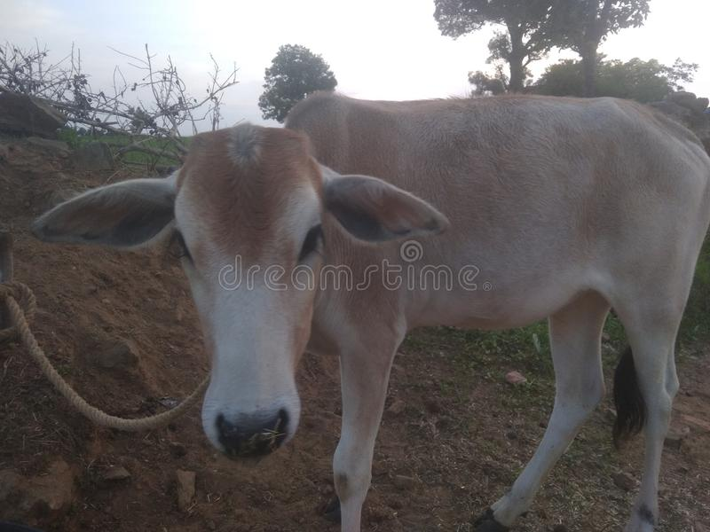 This is the cow of India stock image
