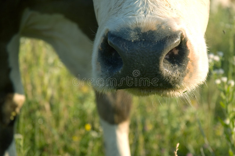 Download Cow's muzzle stock photo. Image of grass, camera, chewing - 5705688