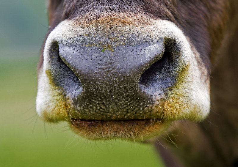 A cow's nose. Full frontal of a Cow's nostril stock image
