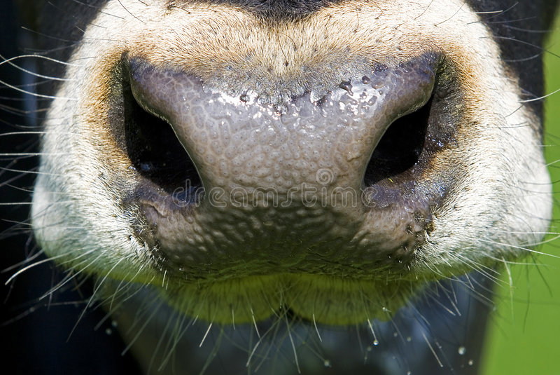 A cow's nose stock photo