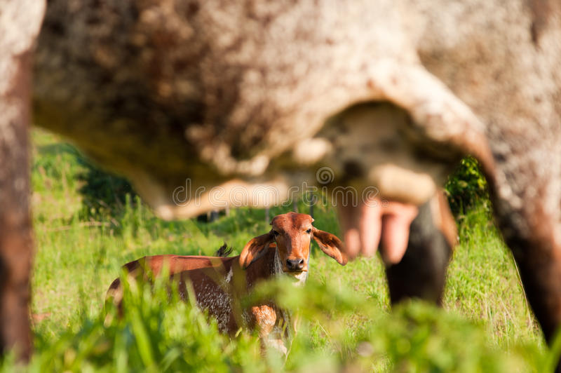 Cow's udder stock images