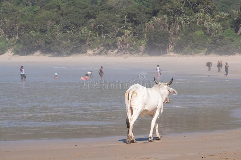 Cow on the sand at Second Beach, Port St Johns on the wild coast in Transkei, South Africa. People swim in the sea in the distance. Nguni cow on the sand at stock images