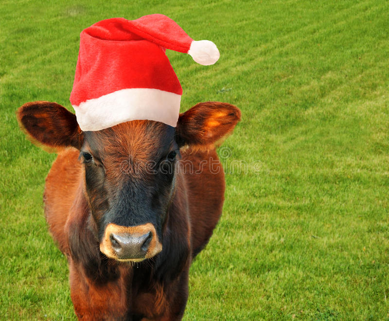 Cow in Santas hat. royalty free stock image