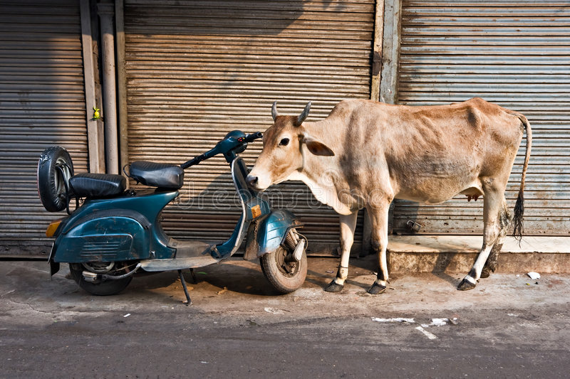 Cow and scooter, Old Delhi, India. royalty free stock photos