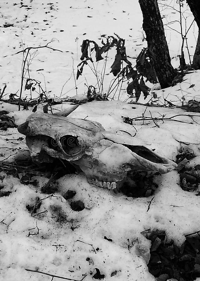 Cow scull on the snow among dry plants and trees side view. stock image