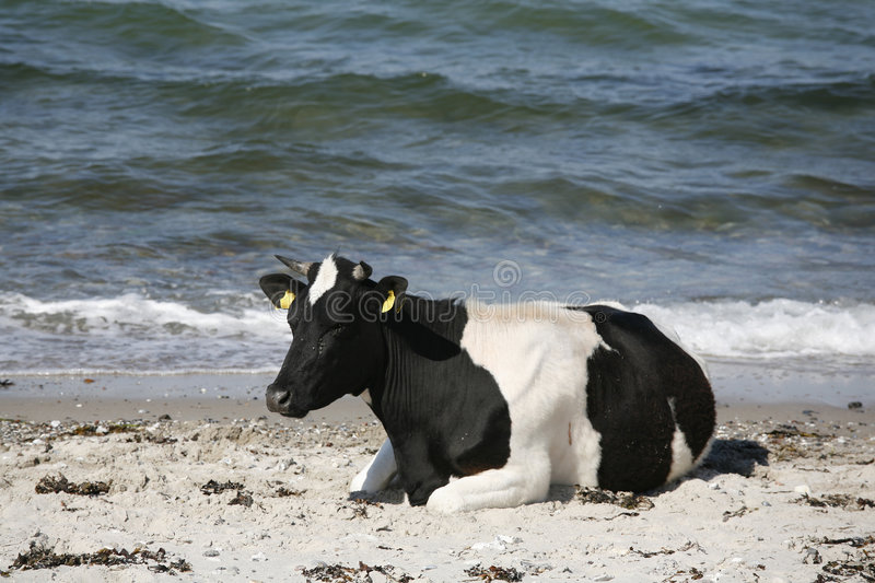 Cow by the sea stock photo