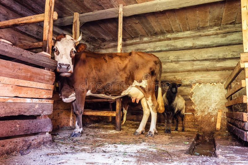 A cow and a sheep in a stable. A browm cow and a black sheep in a village stable barn stock image