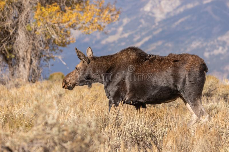 Cow Shiras Moose in Autumn. A cow shiras moose in fall in Wyoming royalty free stock image