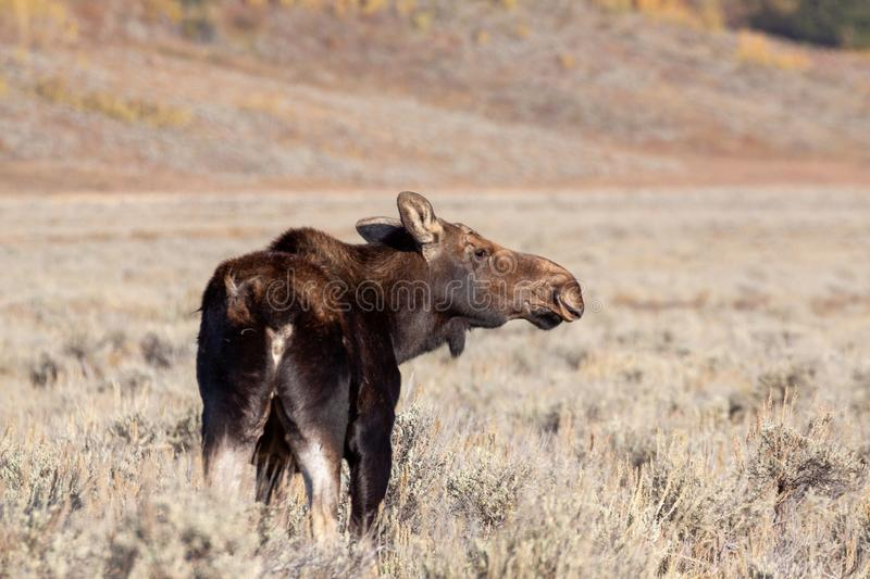 Cow Shiras Moose in Autumn in Wyoming. A cow Shiras moose in autumn in Wyoming stock images