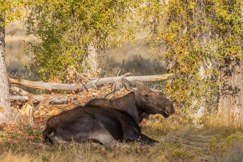 Cow Shiras Moose Bedded. A cow shiras moose bedded in fall in Wyoming stock photo
