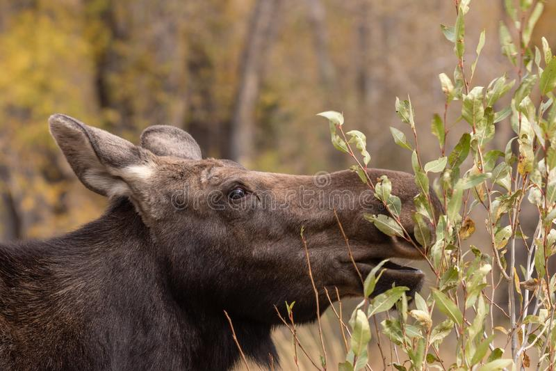 Cow Shiras Moose Eating. A close up of a cow shiras moose eating in autumn in Wyoming royalty free stock photo