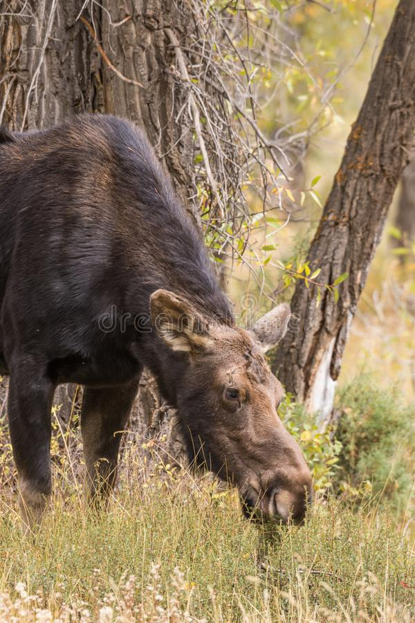 Cow Moose Grazing. A cow shiras moose in fall in Wyoming stock image