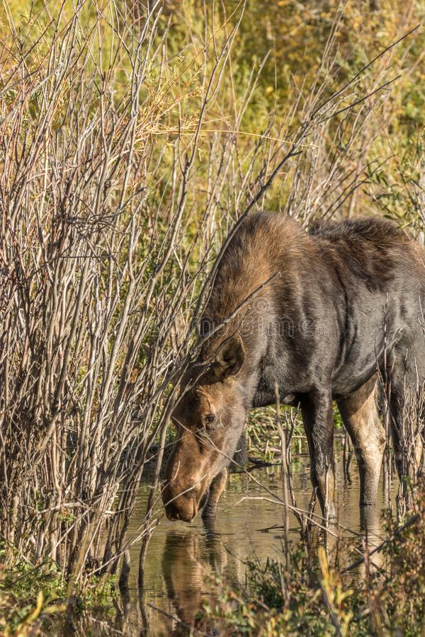 Cow Moose Drinking. A cow shiras moose getting a drink of water in fall in Wyoming royalty free stock images