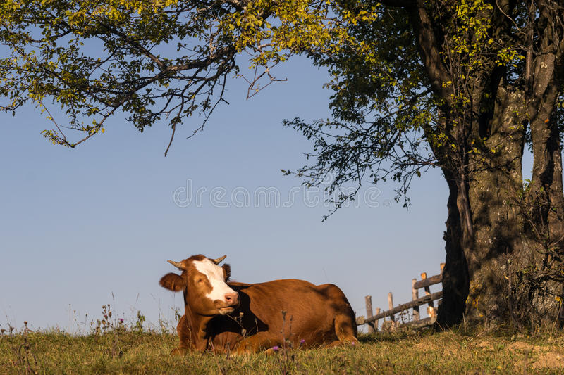 Cow sitting on grass under a tree stock photos