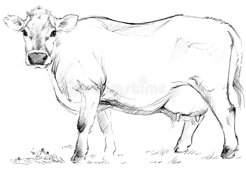 Cow sketch. Dairy cow pencil sketch. vector illustration