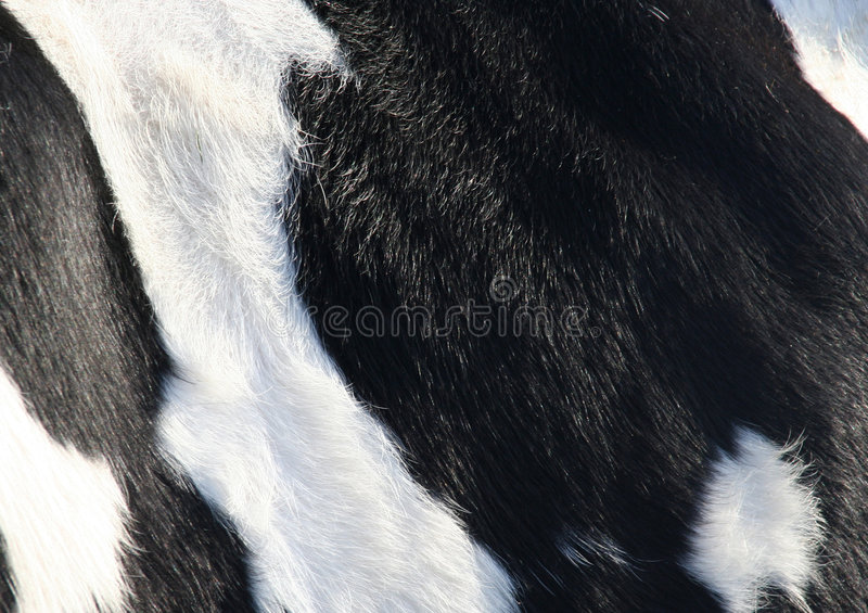 Cow skin. Dtail of cow skin royalty free stock image