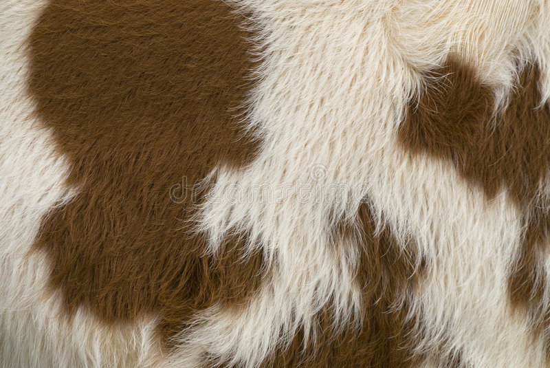 Cow skin. Brown and white cow skin map of world royalty free stock image