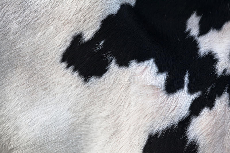 Cow Skin Detail. Closeup of a hairy black and white cow skin royalty free stock photos