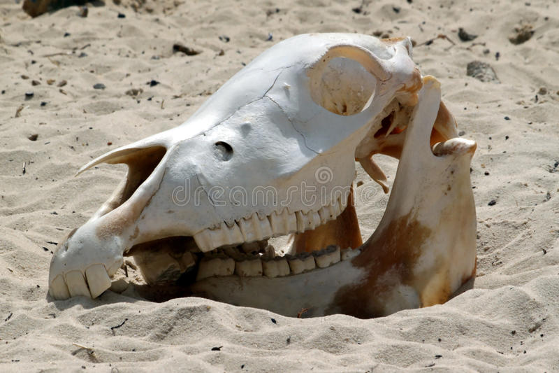 Download Cow skull stock photo. Image of head, danger, depression - 10978952