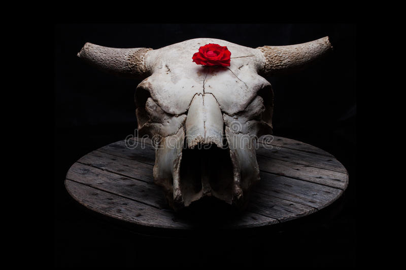 Cow skull with rose stock photography