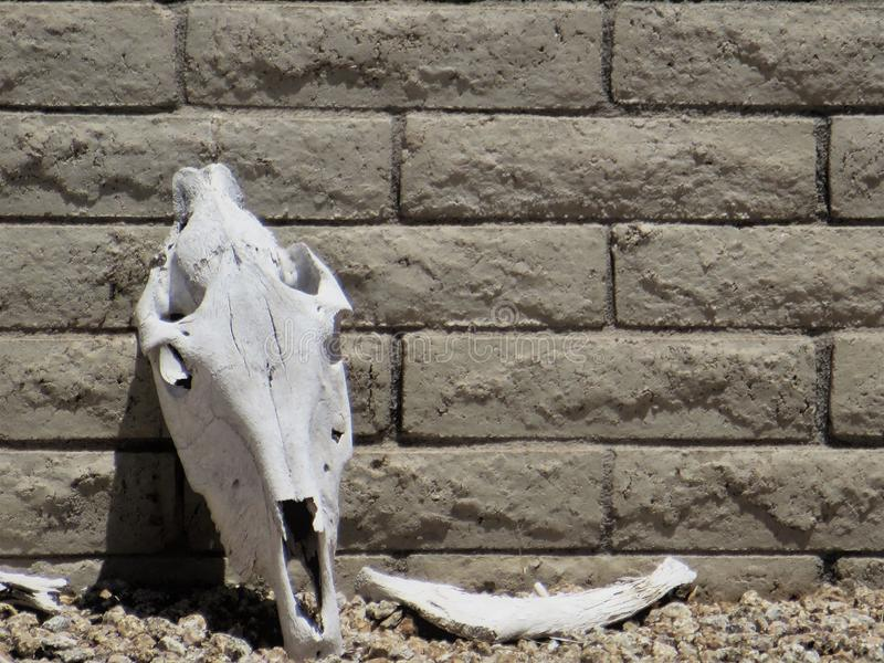 Cow skull yard decoration. Bleached white cow skull leans against gray brick wall making lawn decoration both rustic and macabre in yard of this upscale stock images