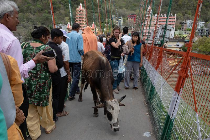 A cow slowly makes it`s way across Lakshman Jhula, adding to an already stock photography