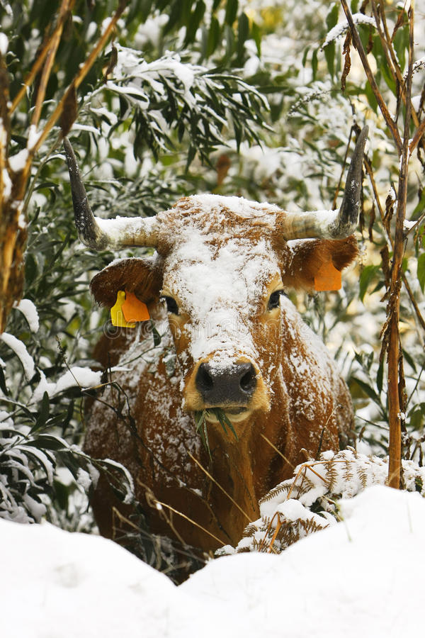 Cow with snow on the bush. Brown Cow with snow on the bush stock photography