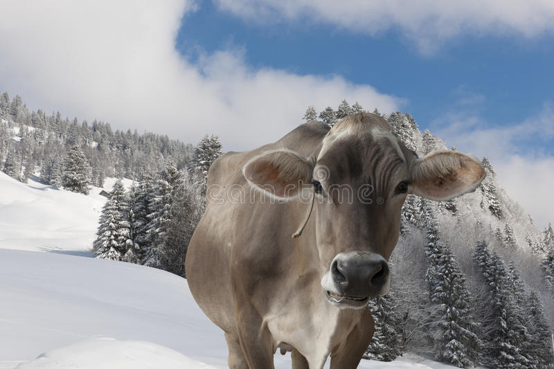 Cow in snow covered alps. Cow in sow covered mountains of Austria royalty free stock images