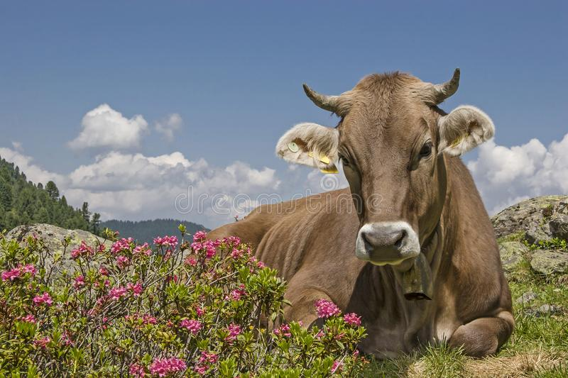 Cow on an alpine meadow in the Stubai Alps stock image