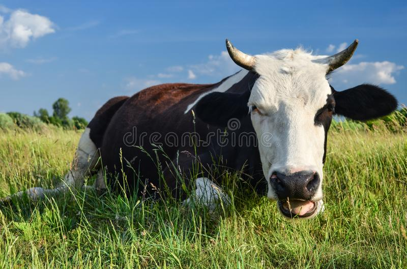 Cow on a spring farm pasture royalty free stock photography