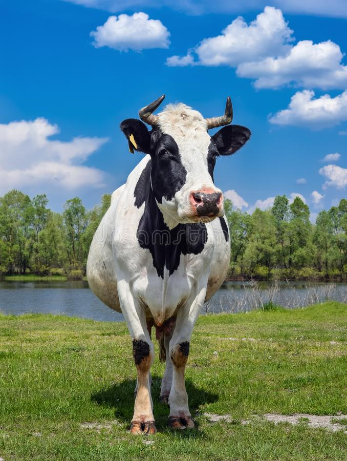 Cow on a spring pasture. Cow on the background of green field and blue sky. Beautiful funny cow on farm. Young black and white cow stock photos