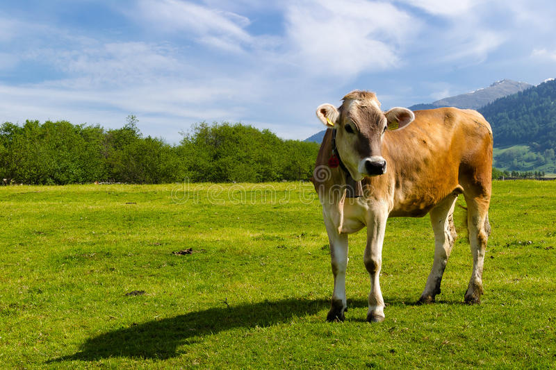 Alpine brown breed calf in the green fields. Calf  alpine brown breed free in the green fields in the italian alps in a beautiful sunny day  summer season stock photos