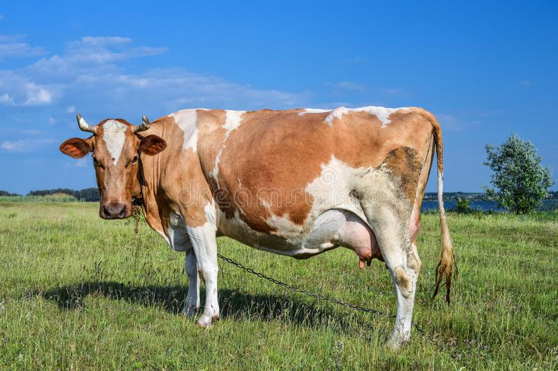 Cow standing on green field and staring straight into camera close up. Farm animals. Cute red and white spotted cow royalty free stock images