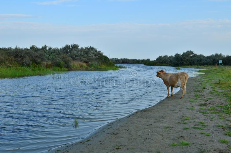 Cow standing on lagoon side royalty free stock image