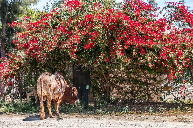 Cow standing under a bush with red blossoms royalty free stock photo