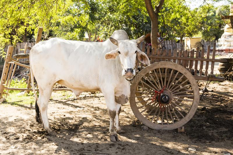 Cow is standing under a tree in the shade in Bagan, Myanmar stock photography