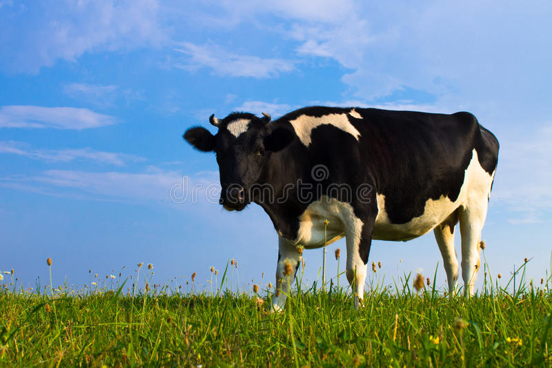 Cow staring. Black and white cow on green grass and blue sky background stock image