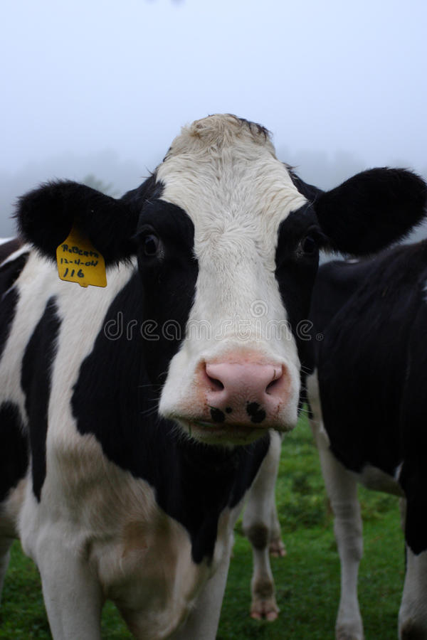 Cow. Stock image of milking cow at Vermont, USA stock photos