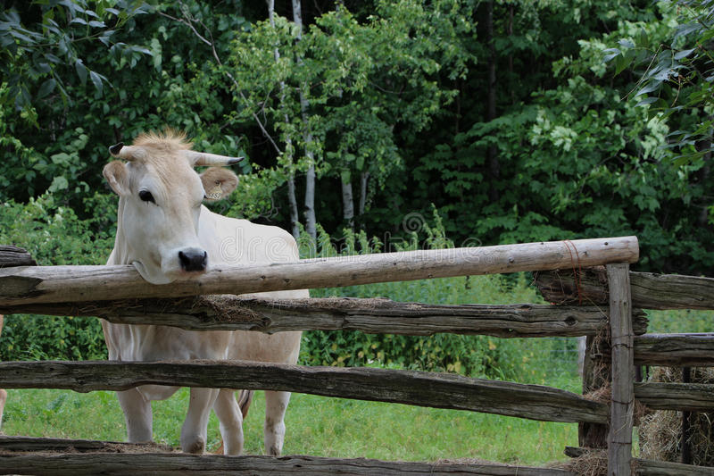 Cow. On a summer pasture royalty free stock images