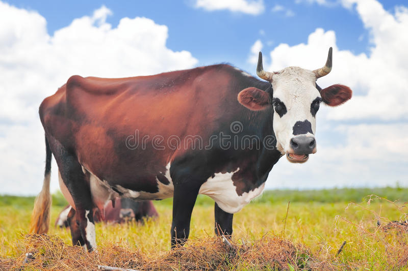 Cow on a summer pasture. On the blue sky background stock photo